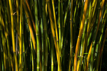 Bambus , Bamboo forest