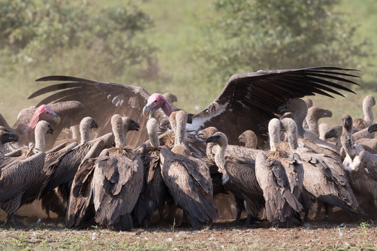 Lappet-faced Vulture domination