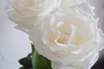 white rose buds close up on a white background.