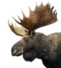 Moose (or Elk) with huge Antlers isolated on white.
