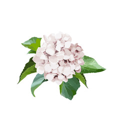 Bouquet of hydrangea flowers with leaves. Isolated floral object on white background.