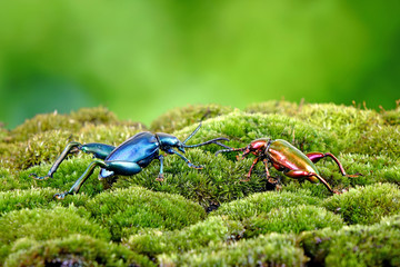 Beetle : Frog-legged leaf beetles (Sagra femorata) Metallic color beetles on green moss. Selective focus, blurred green background.