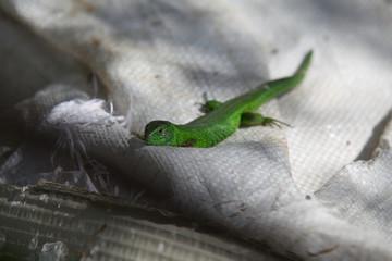 Green lizard sitting on white bag