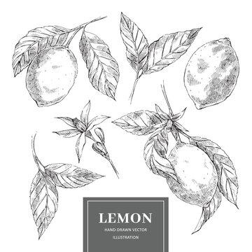 Lemon hand drawn vector illustrations collection