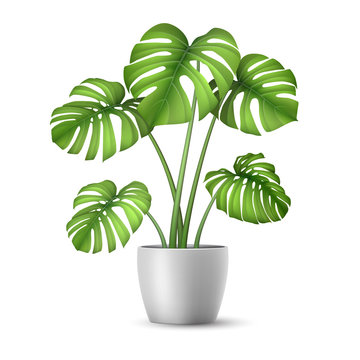Monstera in a flower pot isolated. Tropical plant for interior decor of home or office. Vector illustration in vector realistic 3d style.