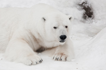 A white polar bear in a fluffy crystal-white skin lying on the snow and sleeping (resting), a large predator (hiding, merging) imperceptible on white snow close up