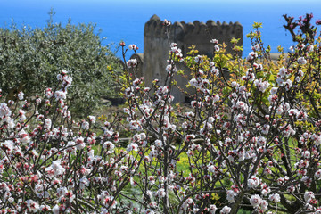 Capri Amalfi Küste: Kirschblüte im Frühling auf der Insel Capri