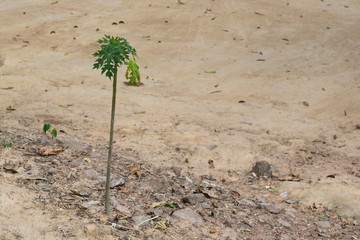 Small papaya trees on the ground.