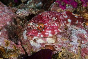 Rocksucker or giant clingfish (Chorisochismus dentex) on a rock full length shot of fish facing the camera.