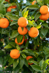 Mandarin on a branch Tangerine