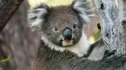 Photo Stands Koala Koala bear in eucalyptus tree, portrait