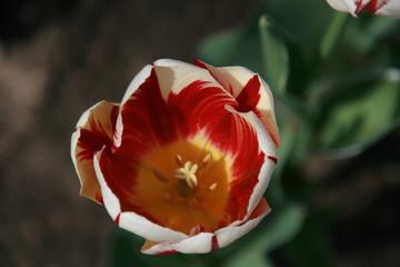 Obraz Tulipan biało czerwony - fototapety do salonu