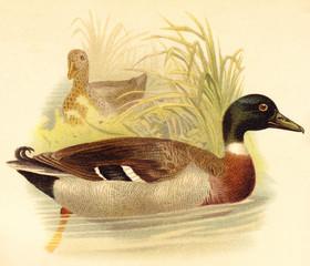 Mallard Duck (Anas boschas) / vintage illustration from Meyers Konversations-Lexikon 1897