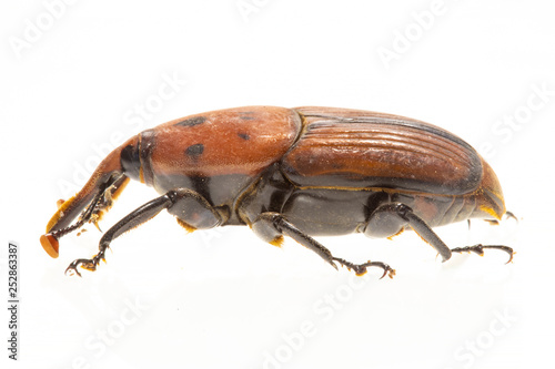The palm weevil Rhynchophorus ferrugineus is one of two species of