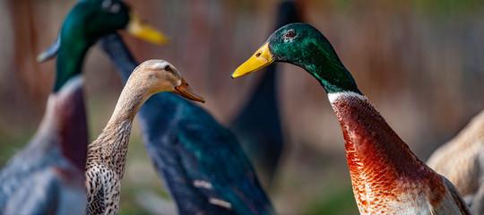 indian runner ducks in the garden