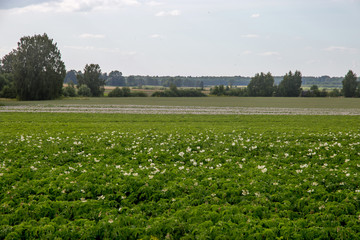 Green field with flowering potatoes