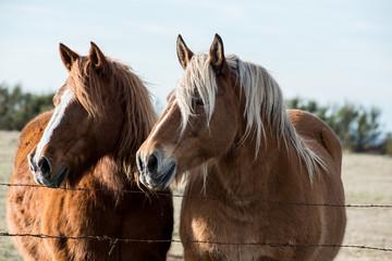 chevaux derrière les barbelés