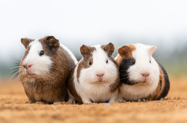 Three lovely guinea pigs on the yellow land