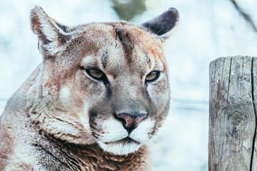 Stores à enrouleur Puma Portrait d'un puma