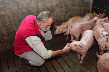 farmer inside a pig farm, petting the pigs