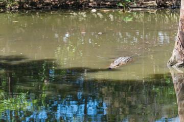 Krokodil schwimmt im Wasser wie ein Stück Treibholz