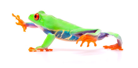 Red eyed tree frog walking, Agalychnis callydrias. A tropical rain forest animal with vibrant eye isolated on a white background...