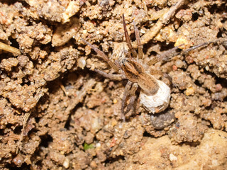 Female spider with a cocoon