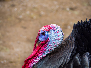 A turkey strutting on a farm