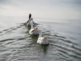 Family of three geese swimming together in a lake