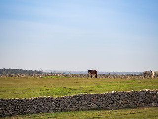 Several horses grazing in a protected dehesa with stone walls in Spain