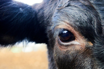 Close up of black cow head and eye