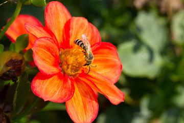 Wildbiene auf Blüte  -  Gelb gebänderte Furchenbiene (Halictus) auf Dahlien Blüte