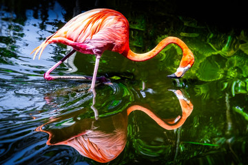 Flamingo in the water, reflecting itself