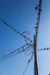 Group of doves sitting on power cable. Taubengruppe sitz auf Strommasten.