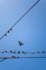 Flying doves at blue sky. Fliegende Tauben am blauen Himmel.