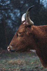 Fototapete - Texas Longhorn cow profile view during wet moody day on farm.