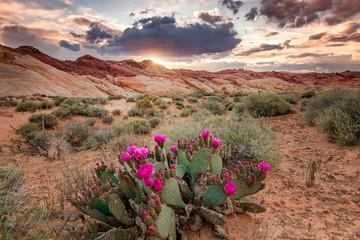 Cactus flowers in the Nevada Desert, USA. Wall mural