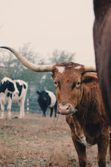 Fototapete - Longhorn cow on farm looking at camera in Texas field full of cattle.