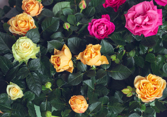 Matte Background of Yellow, Pink Roses. Macro shooting. Close-ups.