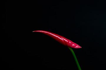 Anthurium bud on black background