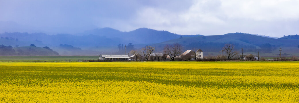 Beautiful panorama of Napa Valley, California with field of yellow flowers and misty mountains in background