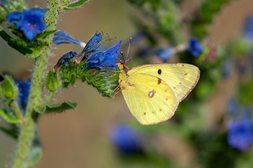 Clouded Yellow (Colias croceus) in Donau-Auen National Park, Austria