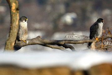 A pair of Peregrine Falcons perch on a branch along the Palisades Cliffs above the Hudson River in State Line Lookout Park in Alpine