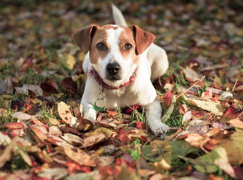 Danish Swedish Farmdog in fall leaves