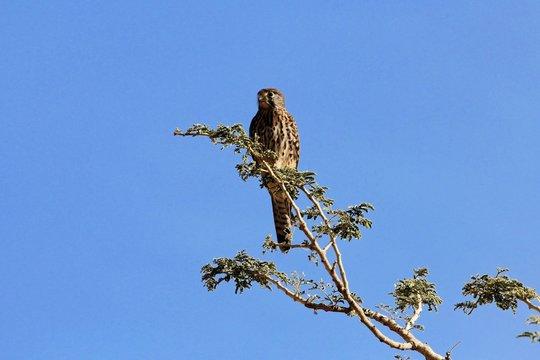 Female lesser kestrel (Falco naumanni) on a tree