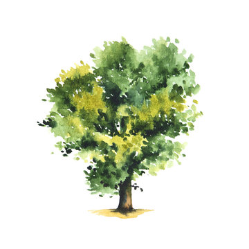 Watercolor illustration of yellow and green oak tree.