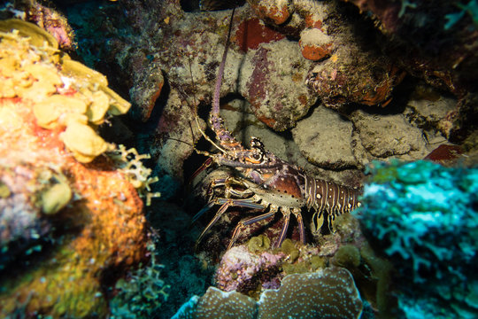 A spiny lobster hiding in a cave during a nightdive on tropical Bonaire island in the caribbean
