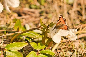 Christrose mit Schmetterling