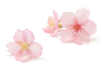 Papiers peints Fleur de cerisier 桜 花 春 白 背景