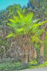 palm tree photo sketch vertical imagery at natural Florida park nature trail